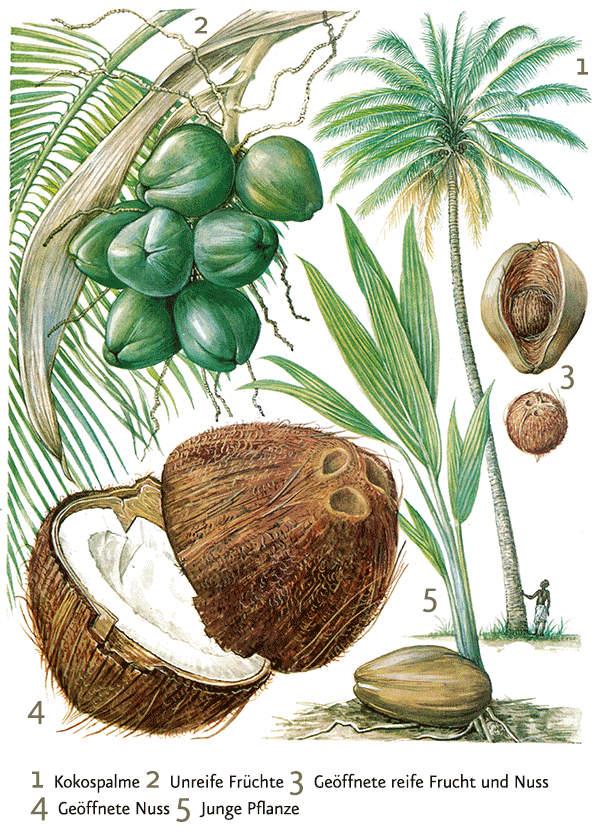 Coconut Oil Virgin online kaufen - Ölmühle Solling
