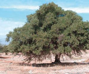 Arganbaum Projekt Argan
