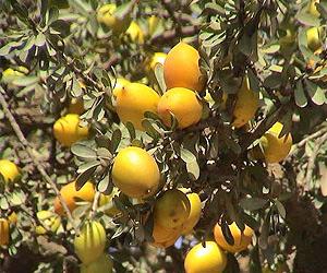 Arganfruechte am Baum